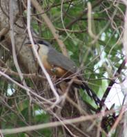 oiseau carouge